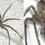 毒もなくゴキブリ、ネズミを食う最強のクモ…人に有益しかない益虫だった…
