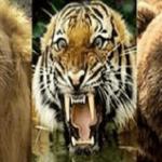 ライオンVSクマVSトラ…種族が異なる3頭の肉食獣を同じゲージに入れた結果…
