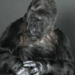 「地球を助けて!」手話のできる奇跡のゴリラ「ココ」の自然界からのメッセージ…