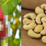 カシューナッツの収穫前の姿…思っていたのと違いすぎると話題に…