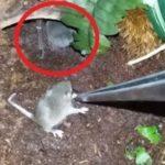 ギネスブック公認の世界最大のクモにネズミを近づけた結果…恐ろしすぎると話題に…