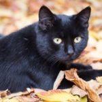 黒猫は縁起が悪いは迷信?迷信が生まれた理由を知ると黒猫が好きになる…
