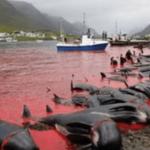 フェロー諸島の伝統行事に批判殺到…真っ赤な血の海と大量のクジラの死骸が・・・