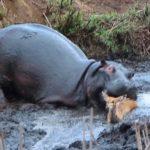 襲われてるレイヨウを救ったカバ…これが自然界の掟か・・・