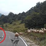 羊飼いの女性を襲った恐怖…長閑な田舎の風景が一変・・・
