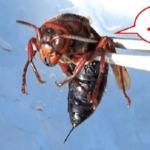 凶暴で最強の希少種・クロスズメバチ…捕獲してツンツンしてみた動画が話題に…
