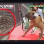 闘犬として鍛えられた土佐闘犬を雄ライオンと対面させたら…衝撃の結果に…
